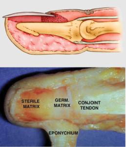 Anatomia da ponta do dedo