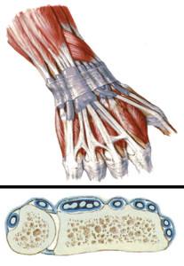 Tenossinovite - Anatomia da mão
